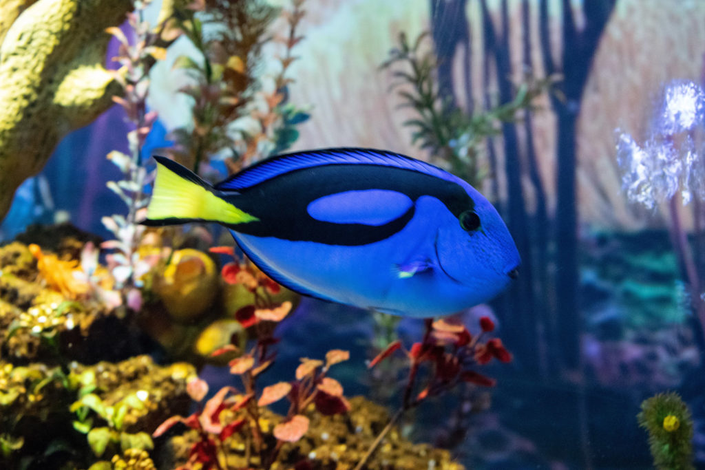 75. Ushaka Marine World Blue fish: A blue and black fish with a yellow tail fin swims in front of coral and plants