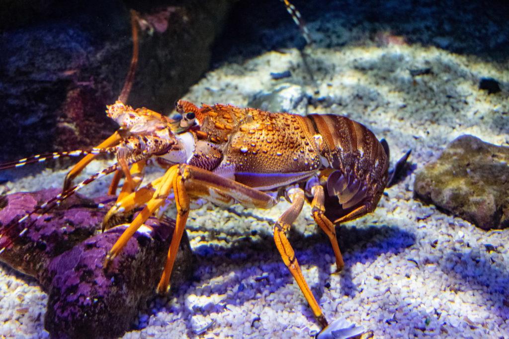 76. Ushaka Marine World Lobster: An orange lobster climbs over a stone